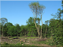 TQ6895 : Coppiced area with standards by Roger Jones