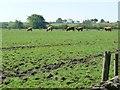 SK0351 : Springfields pedigree highland cattle by Christine Johnstone