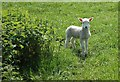 SO5534 : Spring Lamb by Anthony Parkes