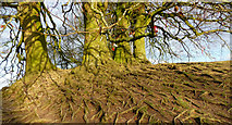 SU1070 : Avebury - Tree Roots by Chris Talbot
