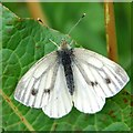 NR8092 : Green-veined White butterfly by Patrick Mackie