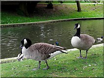 SK0573 : Canada Geese by Kenneth  Allen