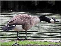 SK0573 : Canada Goose by Kenneth  Allen