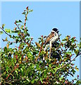 NZ2969 : Reed Bunting in good voice by Christine Westerback