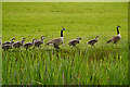 SD7807 : Canada Geese by David Dixon