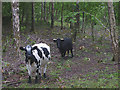 SD4487 : Cattle in Horse Pasture Wood by Karl and Ali