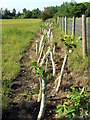 NZ3071 : Planted Hedge by Christine Westerback
