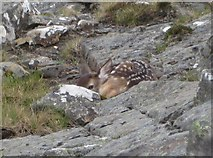 NG9981 : Red Deer fawn by Sally