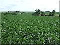 TL0665 : Crop field near Swineshead by JThomas