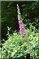 TQ7641 : Foxglove (Digitalis Purpurea)  on Snoad Lane by Julian P Guffogg