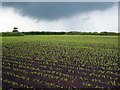 SW5928 : Young shoots of maize in a field at Hendra Croft by Rod Allday