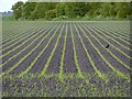 TL5466 : Young maize crop by Stefan Czapski