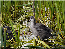 SD7908 : Coot by David Dixon