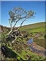 NG1946 : Tough tree by Richard Dorrell