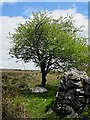 S6737 : Whitethorn and Wall by kevin higgins