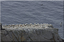 HP5917 : Gannets on Flodda Stack, Hermaness by Mike Pennington