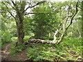 SU8129 : Contorted Tree by Colin Smith