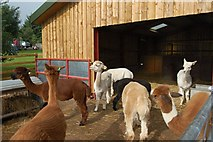 NY4827 : Alpaca farm by Stephen Darlington