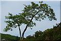 SH6905 : Rowan Tree at Bryn Eglwys, Gwynedd by Peter Trimming