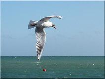 SZ1891 : Mudeford: a gull and a buoy by Chris Downer