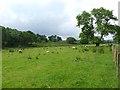 NY7585 : Field of sheep near Ridley Stokoe Farm by Oliver Dixon