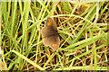 SK9045 : Meadow Brown butterfly by Richard Croft