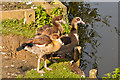 TQ2648 : Egyptian Geese (Alopochen aegyptiacus) by Ian Capper