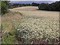 SU9150 : Barley Field near Wyke by Colin Smith