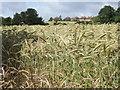 SU9150 : Barley Crop by Colin Smith