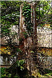 R4560 : Bunratty Folk Park - Tree with Vine near Castle by Joseph Mischyshyn