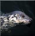 J5082 : Seal, Bangor harbour by Rossographer