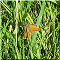 TQ6191 : Small Skipper by Roger Jones