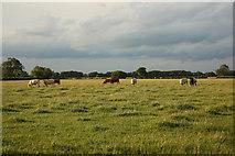 SK8159 : Cattle grazing near Holme by Richard Croft