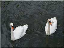 SD7807 : Mute Swans by David Dixon