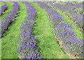 SE6670 : Lavender crop by Pauline E