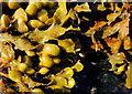 J4968 : Seaweed, Rough Island near Comber by Albert Bridge