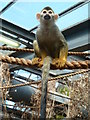 SO9490 : Dudley Zoological Gardens - Squirrel monkey by Chris Allen