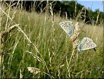TQ1350 : Blue butterflies at Ranmore (3) by Stefan Czapski