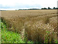 TM3893 : Ripening wheat south of Bungay Road by Evelyn Simak