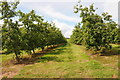 SO6542 : Apple orchard, near Walsopthorne Farm by Philip Halling