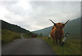 NS3198 : A Highland cow and her calf on the road in Glen Douglas by Karl and Ali