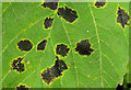 J2766 : Tar spot fungus, Lambeg by Albert Bridge