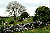 M2300 : The Burren - R480 - Wall, Field, Cattle & Tree near Poulnabrone Dolmen Area by Joseph Mischyshyn