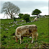 M2300 : The Burren - R480 - Cattle, Field & Tree near Poulnabrone Dolmen Area by Joseph Mischyshyn
