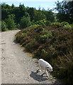 NN3429 : Skye the terrier by Karl and Ali