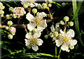 J5264 : Bramble flowers, Reagh Island near Comber by Albert Bridge