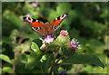 SX9181 : Butterfly on burdock, Haldon by Derek Harper