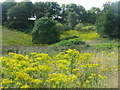 NS9577 : A good year for Ragwort by M J Richardson