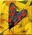 C9342 : Six-spot burnet moth, Portballintrae by Albert Bridge