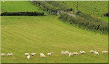 J4772 : Sheep, Scrabo, Newtownards (2) by Albert Bridge
